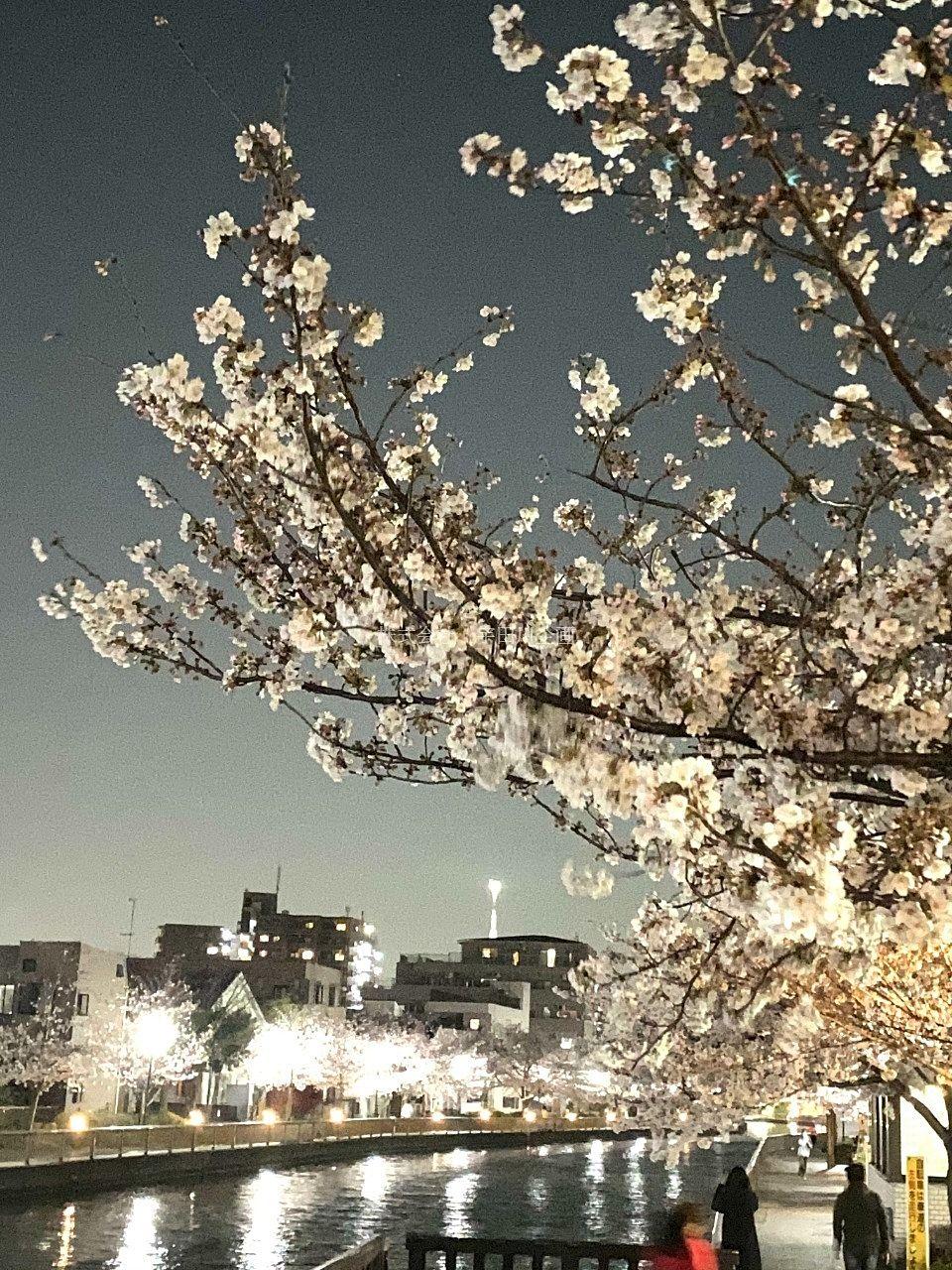 新川千本桜がキレイです